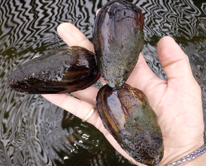 Painters Mussels - Plants for Ponds