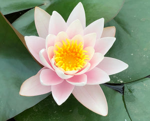 Paul Hariot Changeable Waterlily - Plants for Ponds