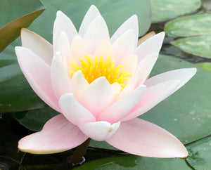 Paul Hariot Changeable Water lily - Plants for Ponds
