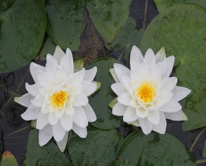 Perry's Double White - Water Lily-(Nymphaea Perry's Double White)