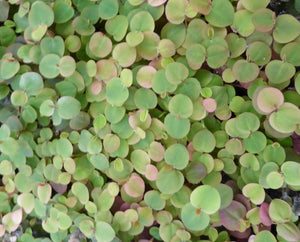 Red Root Floater-(Phyllanthus fluitans) Floating Plant - Plants for Ponds Ltd