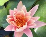 Catchwater Dream Water Lily - Plants for Ponds