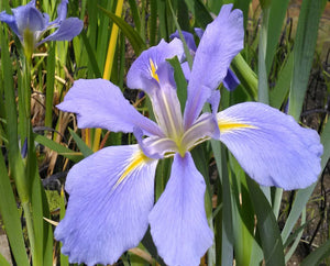 Iris louisiana 'Sea Wisp' - Plants for Ponds