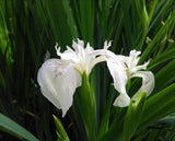 "Iris pseudacorus ""Creme de la Creme' - Plants for Ponds"