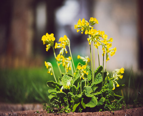 Giant Cowslip (Primula florindae) - Plants for Ponds