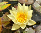 Pygmeae Helvola Yellow Dwarf Waterlily - Plants for Ponds
