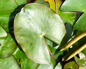 Pygmaea Rubra Red Dwarf Waterlily leaf pad - Plants for Ponds