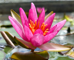 Pygmaea Rubra Red Dwarf Waterlily - Plants for Ponds