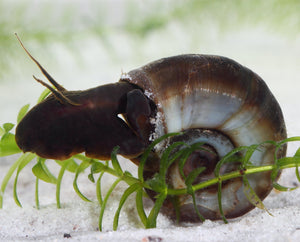 Ramshorn Snail (Planorbis corneus) Plants for Ponds Ltd