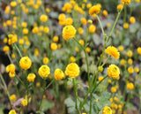 Yellow Batchelors Buttons (Ranunculus acris Flore Pleno)