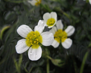 Water Crowsfoot (Ranunculus aquatilis) - Plants for Ponds