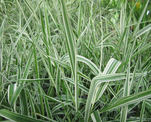 Reed Canary Grass (Phalaris arundinacea) - Plants for Ponds