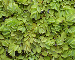 Floating watermoss (Salvinia natans) - Plants for Ponds Ltd.
