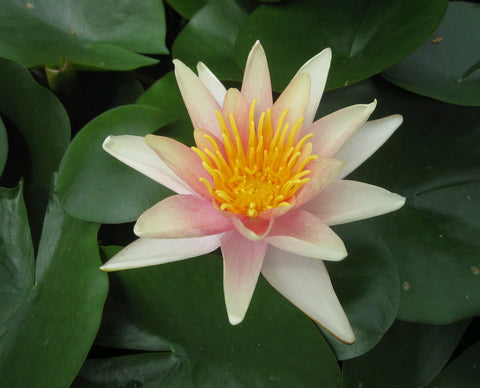 Sioux Water Lily (Nymphaea Sioux) - Plants for Ponds