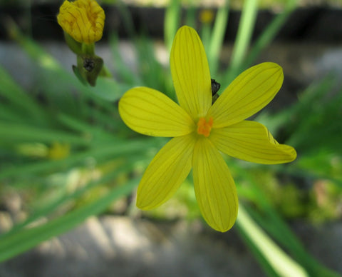 Yellow-eyed grass (Sisyrinchium californicum)