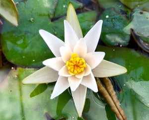 Snow Princess White Dwarf Water lily - Plants for Ponds