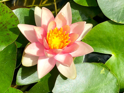 Solfatare Changeable Waterlily - Plants for Ponds (top)