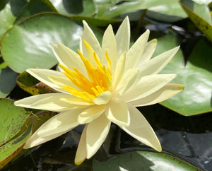 Sunrise Yellow Water lily - Plants for Ponds Ltd