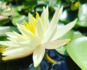 Sunrise Yellow Waterlily - Plants for Ponds Ltd