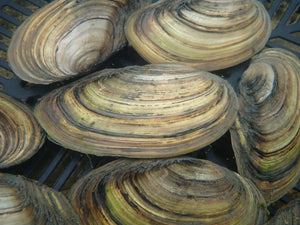 Swan Mussels (Anodonta cygnea) - Plants for Ponds Ltd