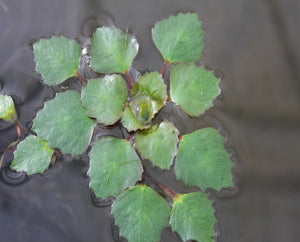 Water Chestnut (Nut and Leaves) - Plants for Ponds Ltd.