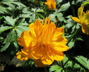 Globeflower 'Golden Queen' (Trollius chinensis 'Golden Queen')