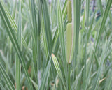 Variegated Bulrush (Typha latifolia variegata) - Plants for Ponds