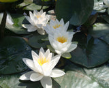 Virginalis - Water lily (Nymphaea Virginalis)