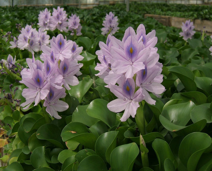 Water Hyacinth-(Eichhornia crassipes Major)
