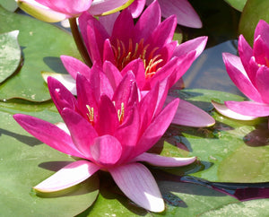 Xiafei - Water Lily - Plants for Ponds