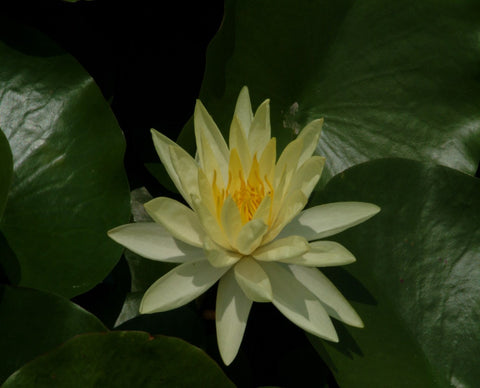 Yellow Sensation - Water Lily (Nymphaea Yellow Sensation)