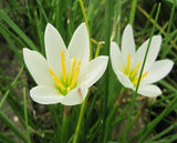White Rain Lily (Zephyranthes candida) - Plants for Ponds