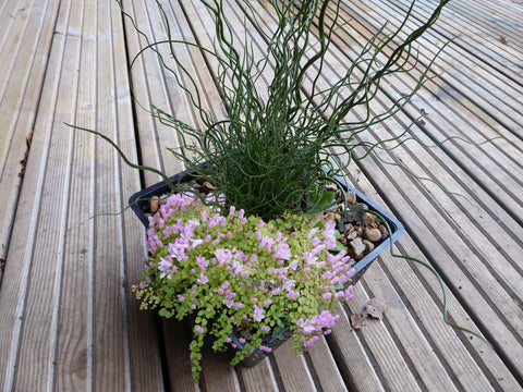 2ltr Aquatic Basket pre planted Inspired Selection - Plants for Ponds