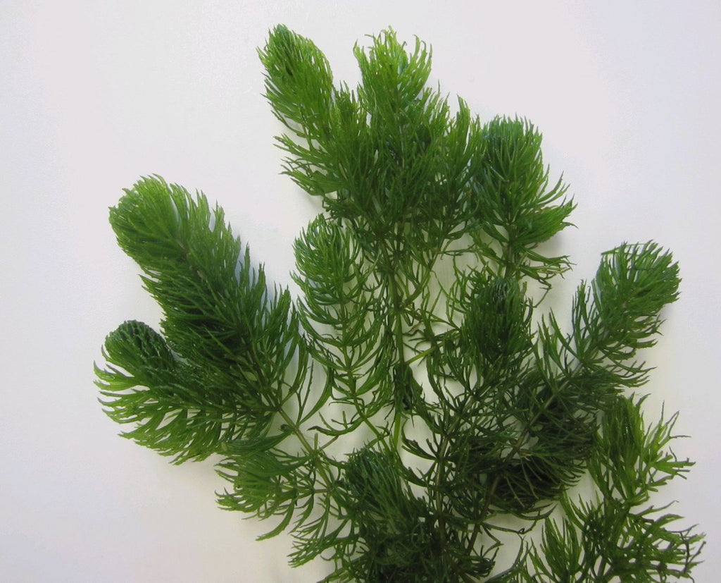Hornwort ceratophyllum demersum plants for ponds for Oxygenating plants for a small pond