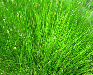 Dwarf hairgrass or Needle spikerush (Eleocharis acicularis)
