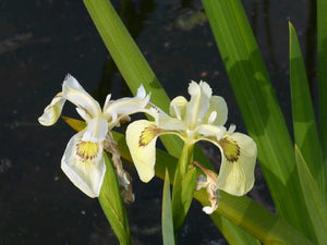 Iris pseudacorus 'Alba' Pond Marginal - Plants for Ponds