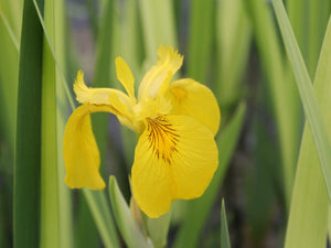 Yellow flag (Iris pseudacorus)