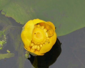 Brandy Bottle or Yellow Water Lily (Nupar lutea)