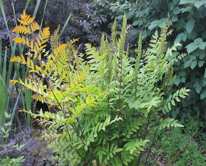 Royal fern-(Osmunda regalis)