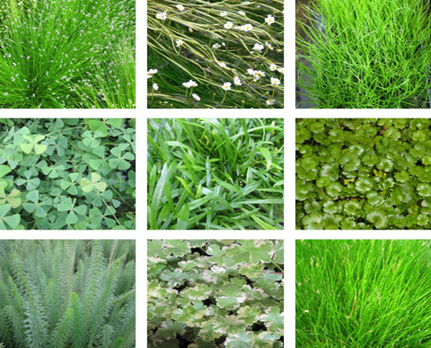 Oxygenator Value Pack - Plants for Ponds