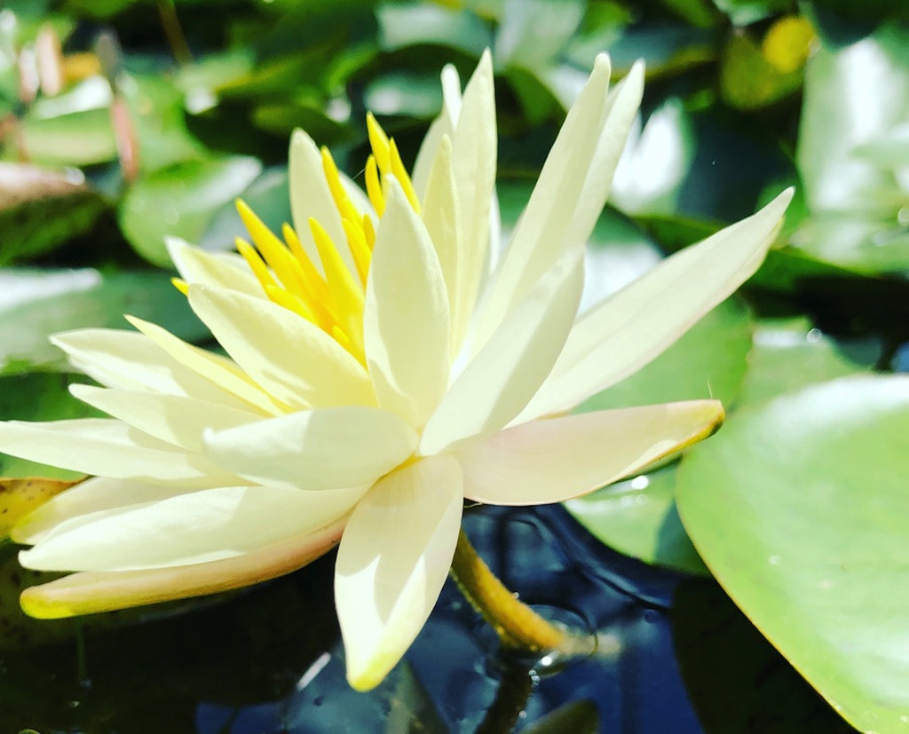 Sunrise Yellow Waterlily (Plants for Ponds)