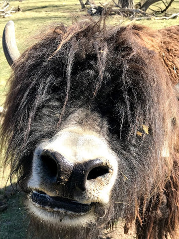 Yak reaching nose toward the camera looking for treats despite not being able to see because of the hair over its eyes.