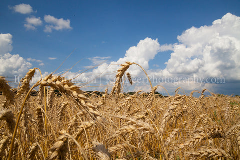 Ripe Wheat and Blue Sky