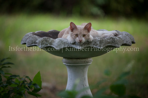 Cat in the Birdbath