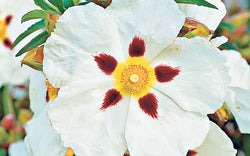 CISTUS ABSOLUTE OIL