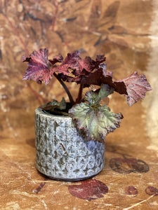 Rex Begonia With Venus Pot
