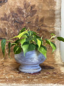 Lemon Lime Philodendron With Italia Pot