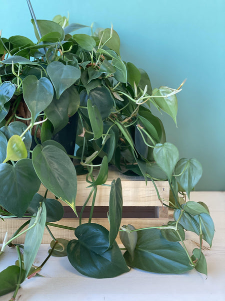Hanging Philodendron 6""