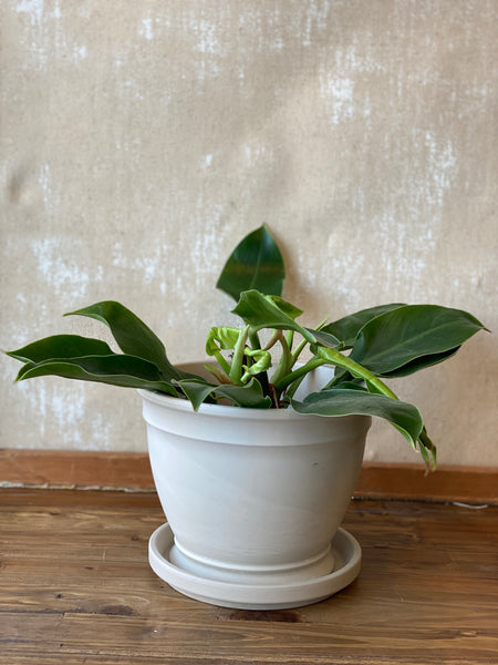 Philodendron Moonlight 6""