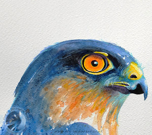 "Sparrowhawk - 10""x9"" Watercolour Painting"